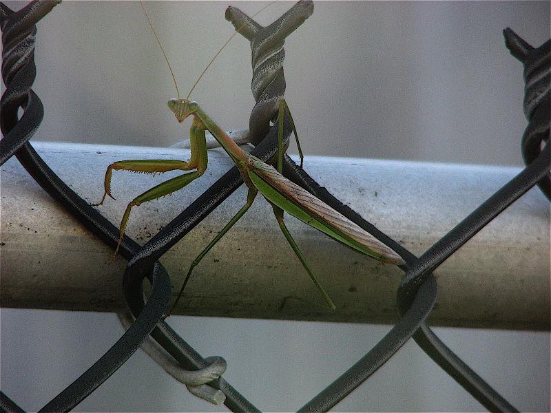 1 praying mantis