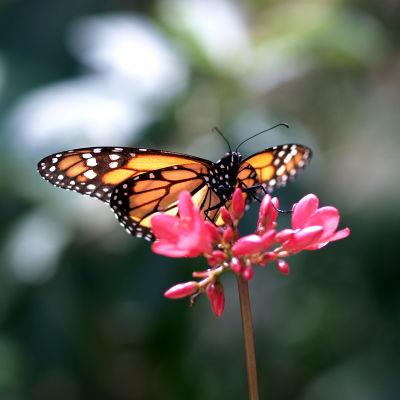 PRESS Monarch Butterfly
