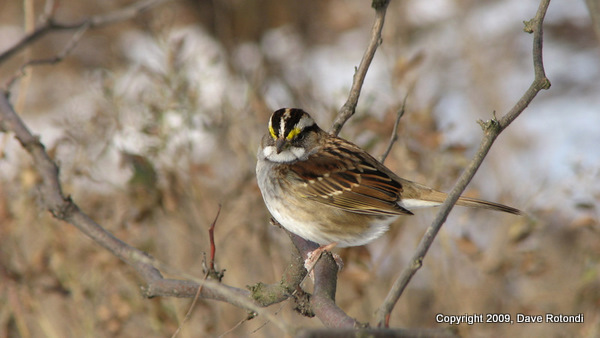 White Throated Sparrow 1-18-10