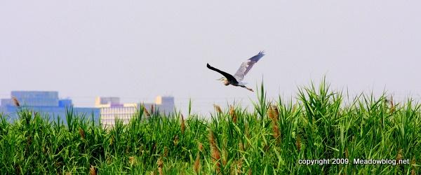 Great blue heron, doctor's creek, b