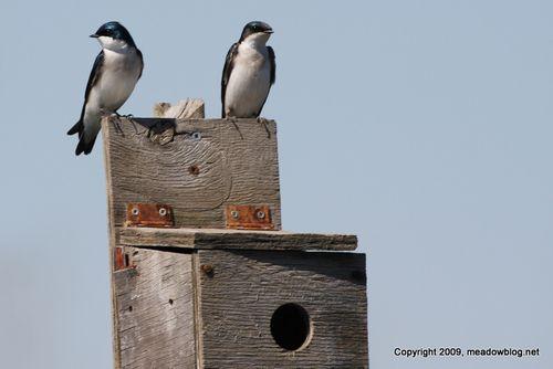Tree swallows-1