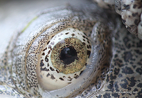 Diamondback terrapin eye