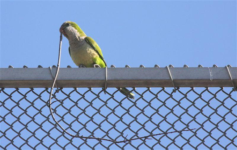 Monk parakeet 0510