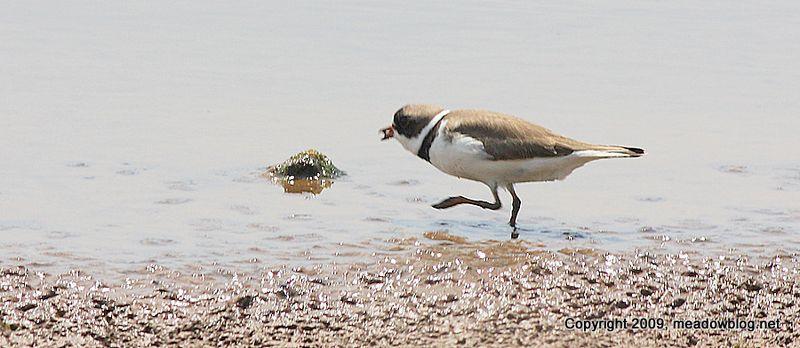 Semiplamated plover