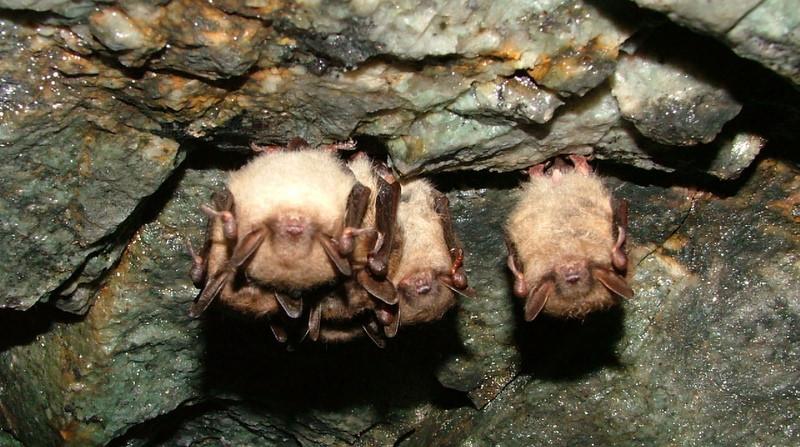 Little Brown Bats 1