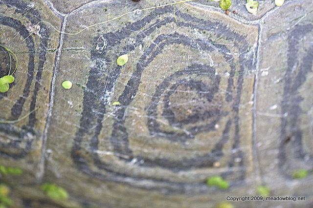 Diamondback terrapin shell