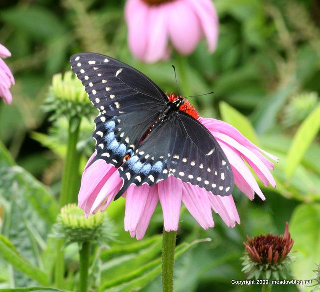 Swallowtail-1