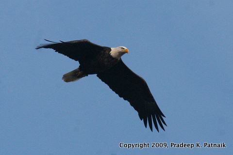 Bald eagle A Meadowlands 30th Sept 09