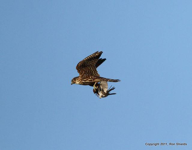 Falconiformes. sub Falconidae - sub fam Falconinae - gênero Falco - Página 3 6a00e553bb7c2088340153928c2c3e970b-800wi