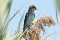 Tree_swallow_with_food_for_young