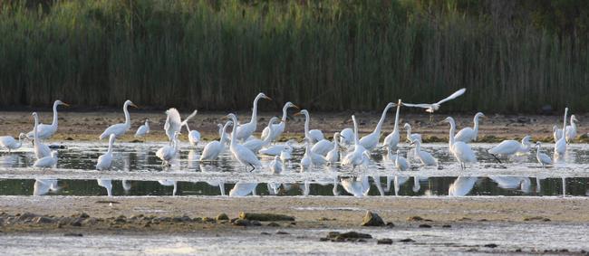 Harrier_egrets