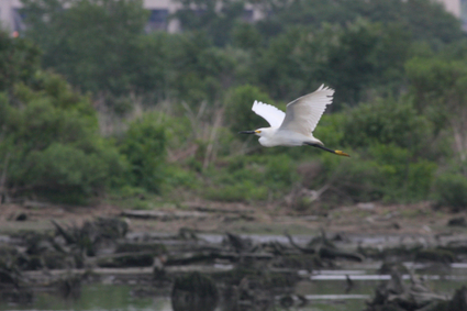 Snowy_egret_flying_mill_creek