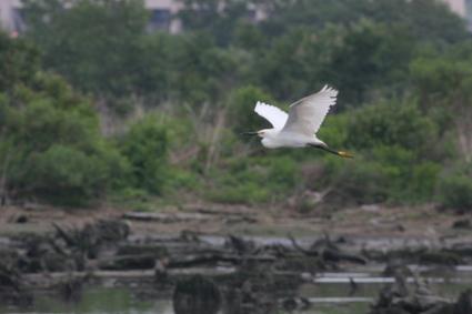 Snowy_egret_flying_mill_creek